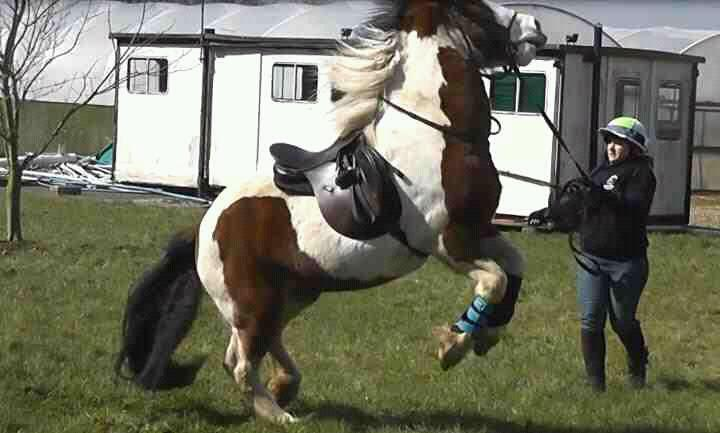 Bolshy horse who did not understand lungeing